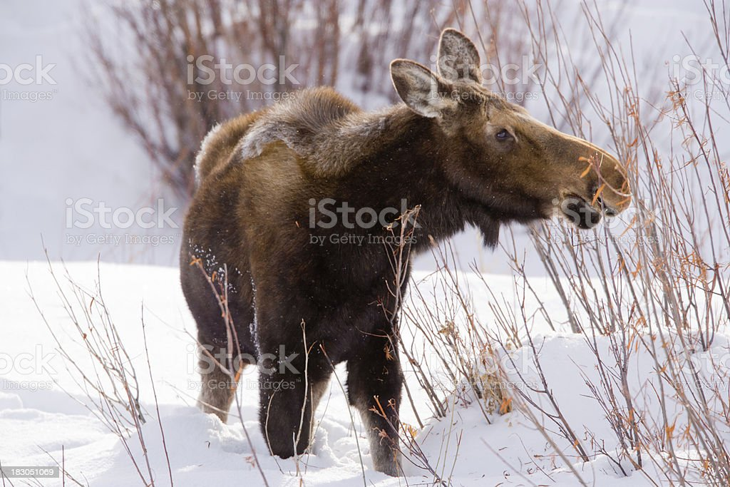 Moose Foraging in Winter royalty-free stock photo