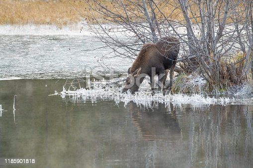 Young moose in icy water in the Tetons