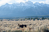 Moose (Adult stag) grazing in the Grand Teton National Park in the U.S. state of Wyoming