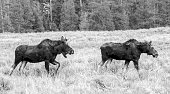 Moose (young stag and a cow) grazing in the Grand Teton National Park in the U.S. state of Wyoming
