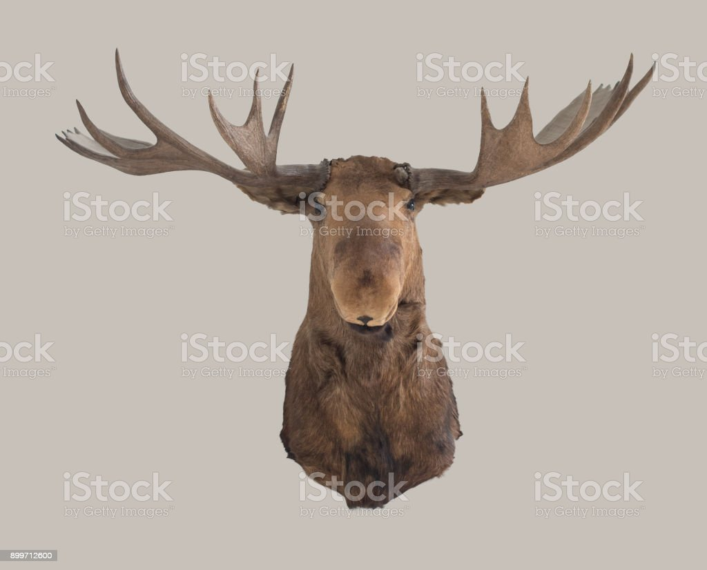 Ideal Royalty Free Moose Head Pictures, Images and Stock Photos - iStock RQ63