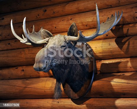 The stuffed hunting trophy (taxidermy) head and antlers of a Moose - mounted on the wall of a log cabin in the Canadian Rockies