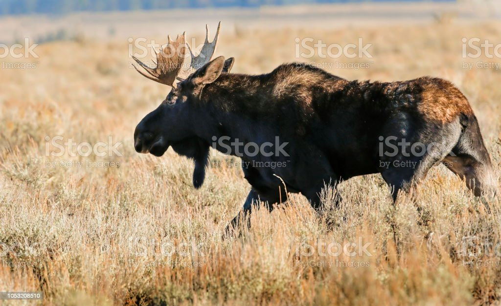 Moose headed for the woods stock photo