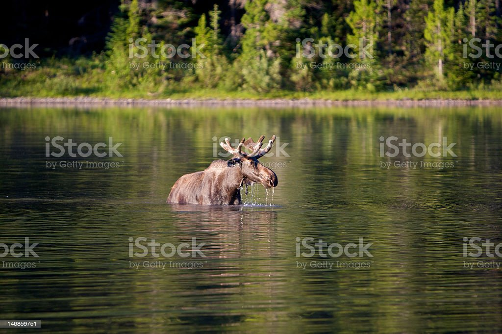 Moose in a lake royalty-free stock photo