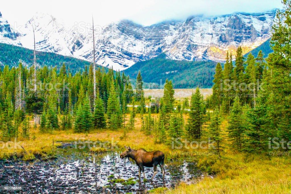 Moose in a meadow, Kananaskis County, Alberta, Canada stock photo