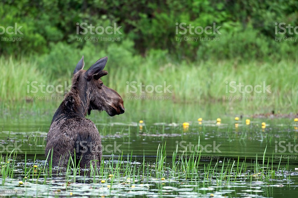 Moose in a pond stock photo