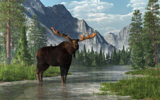 Moose in a River A bull moose stands in the ankle deep waters of a shallow, lazy river that winds its way through a forested valley.  Fir trees and long grass line the banks of the rivers. 3D Rendering rocky mountains north america stock pictures, royalty-free photos & images