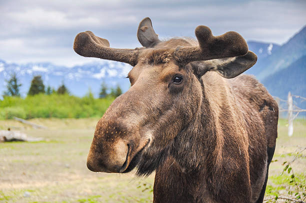 Moose in Alaska (USA) stock photo