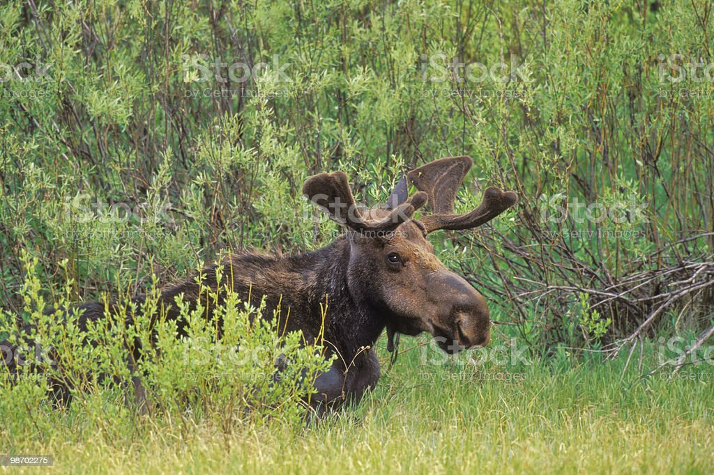 moose in bushes royalty-free stock photo