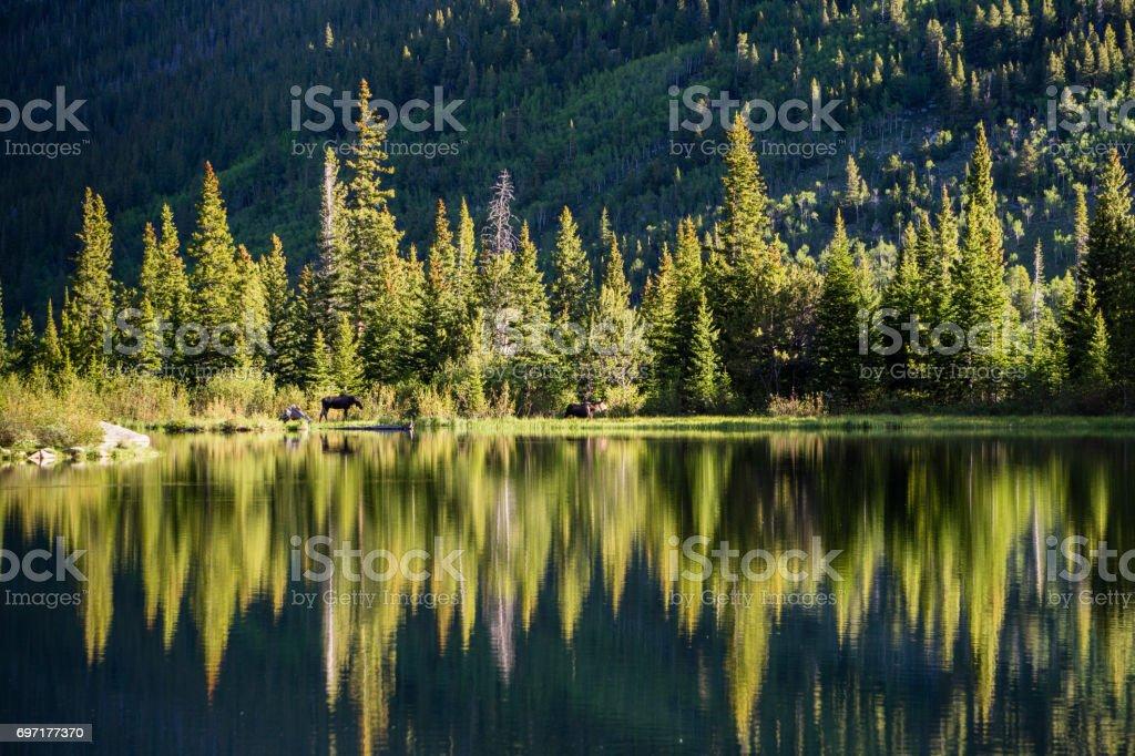 Moose in Colorado stock photo