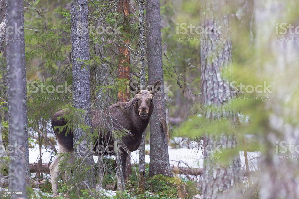 Moose in forest looking into camera stock photo