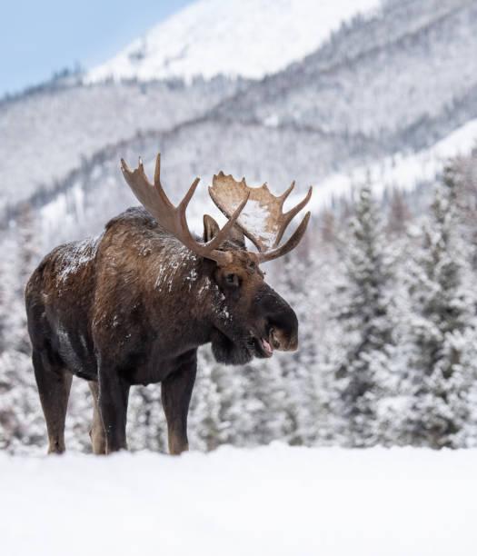 Moose in jasper canada picture id1183905558?b=1&k=6&m=1183905558&s=612x612&w=0&h=qpehueb5ydtah7pojsglj4rqwhrgv7u2mh7yog32msi=