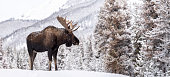istock Moose in Jasper Canada 1198101600