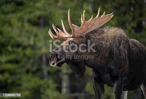 Moose in Jasper Canada in Winter