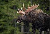 istock Moose in Jasper Canada 1208695753