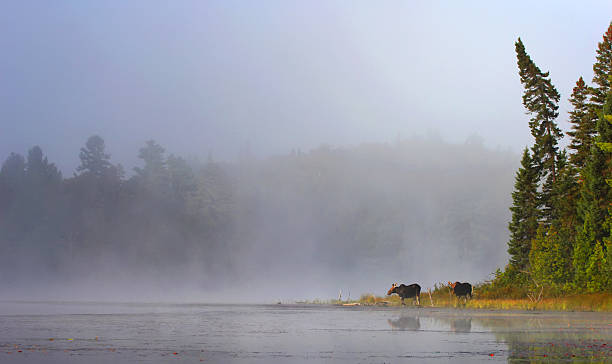 Moose in mist at lake's edge stock photo