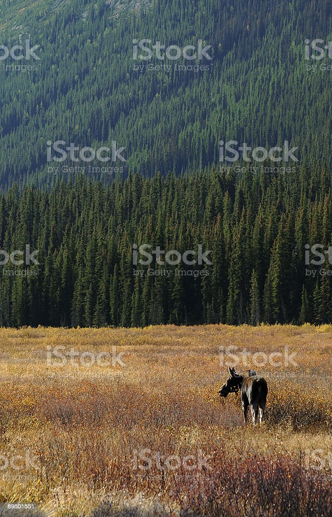 Łoś w kanadyjskie Góry Skaliste zbiór zdjęć royalty-free