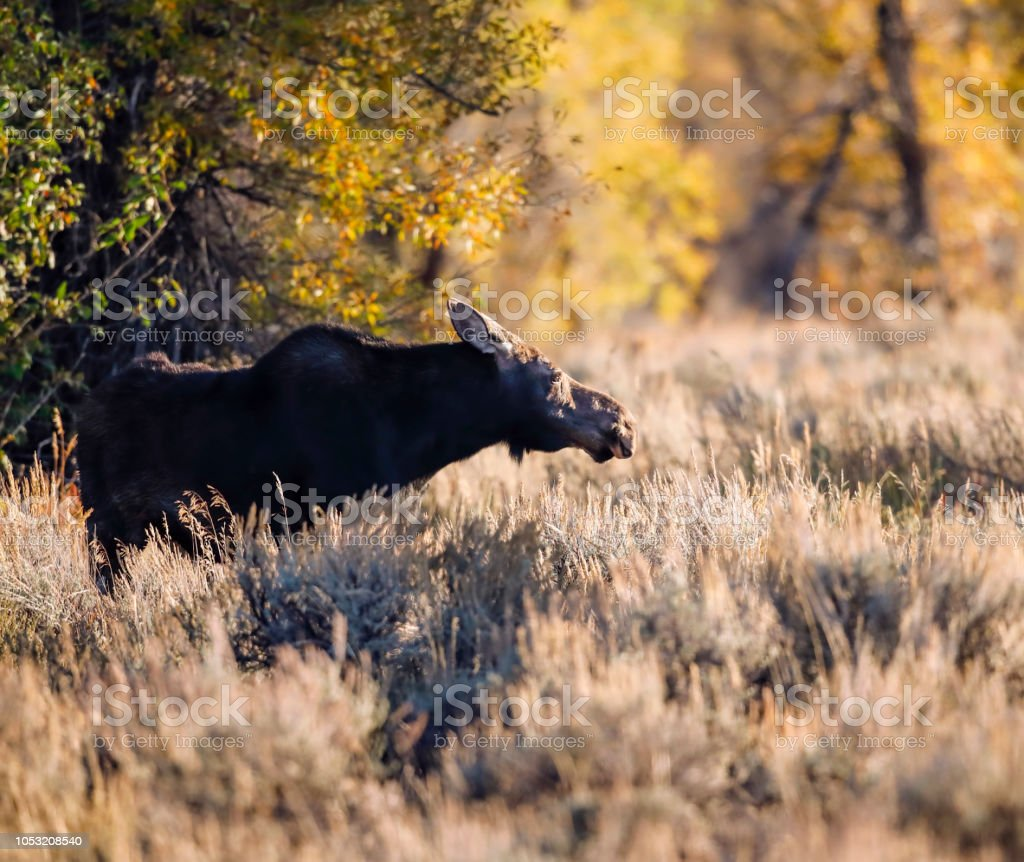 Moose in the meadow backlit stock photo
