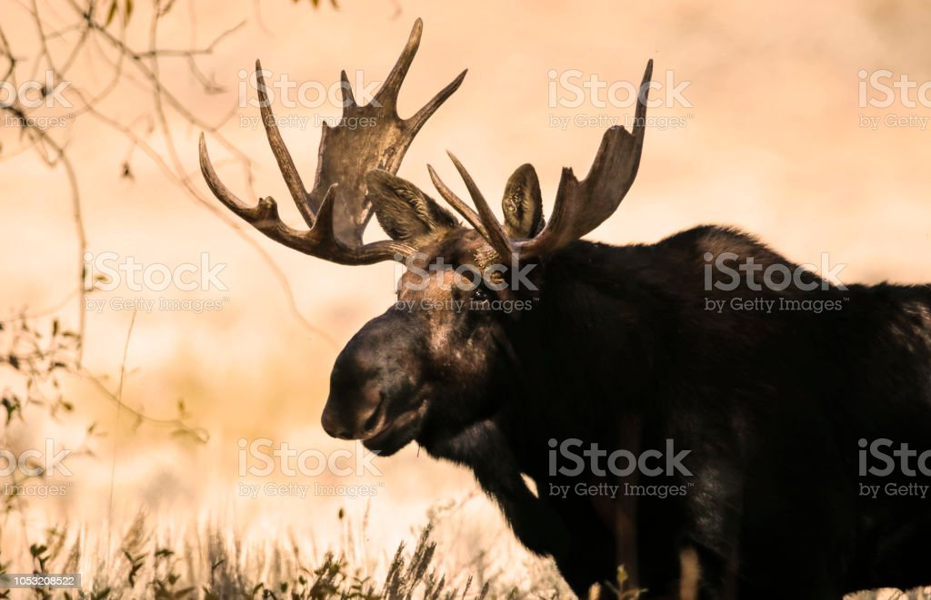 Moose in the shadows stock photo