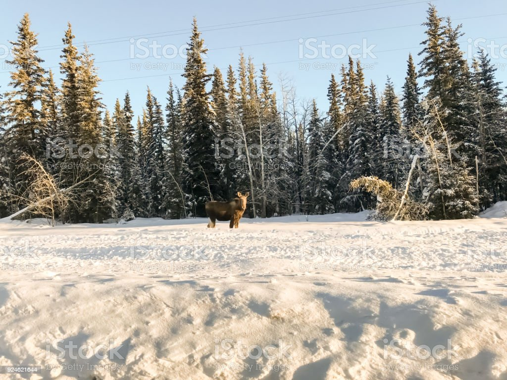 Moose in The Snow stock photo