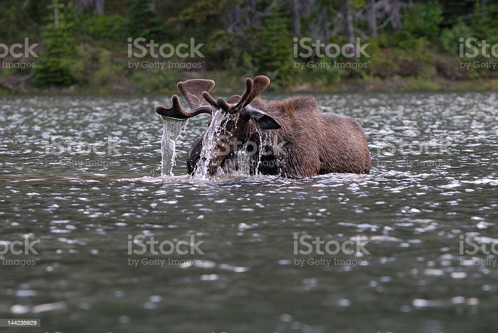 Moose in the water royalty-free stock photo