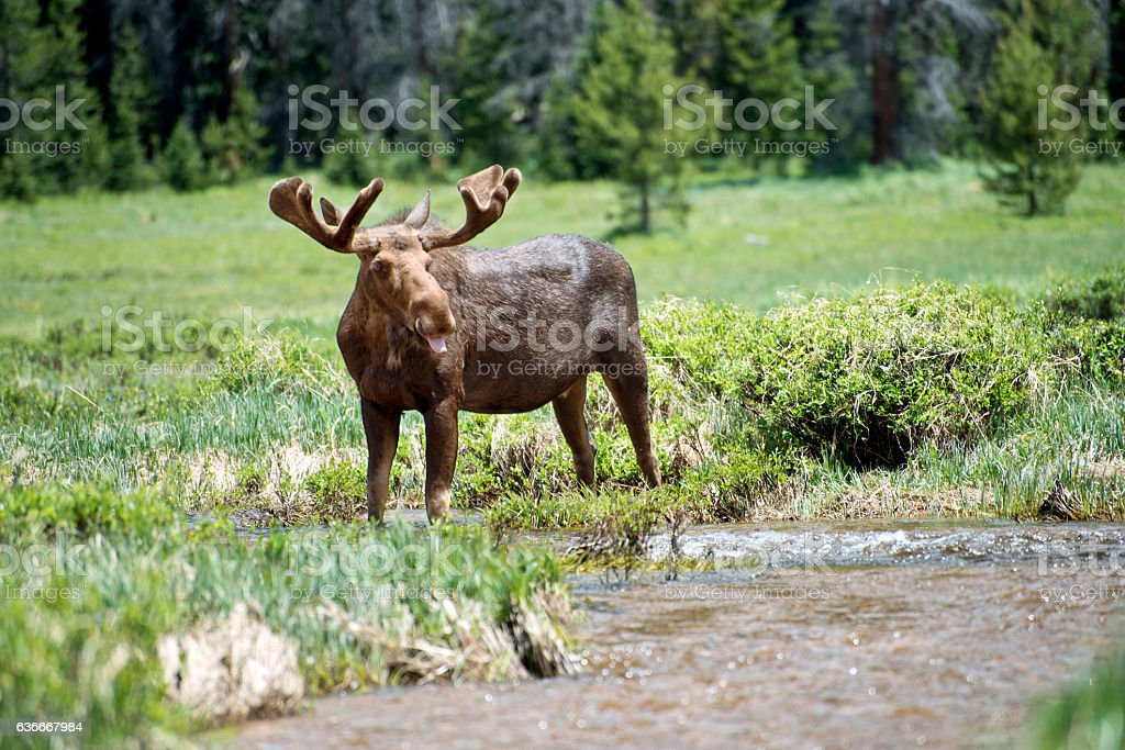 Moose in the Wild stock photo