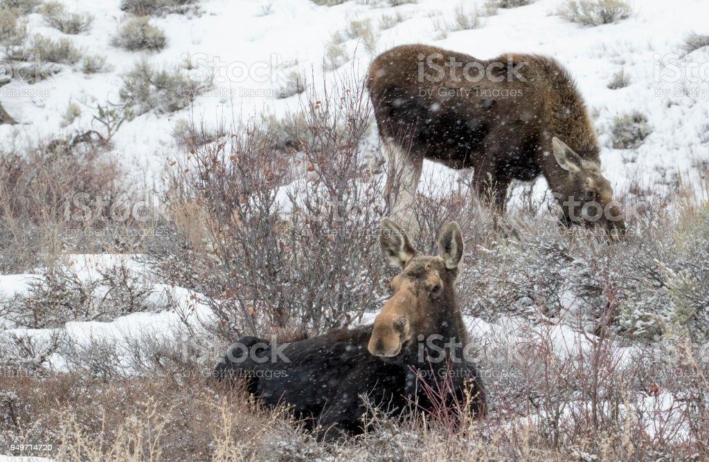 Elch in Winterfütterung in Büschen – Foto