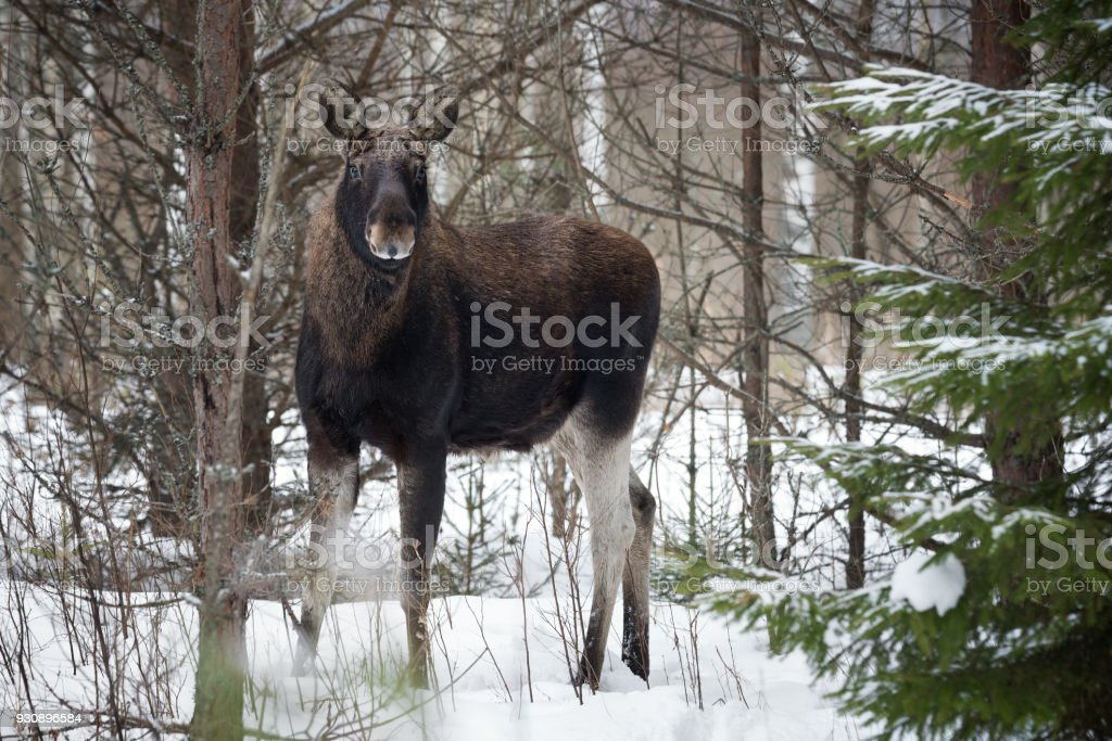 Moose In Winter Forest Closeup Wildlife Scene From Belarus Moose ...