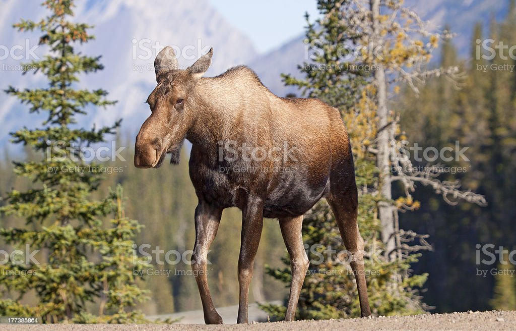 Moose March royalty-free stock photo