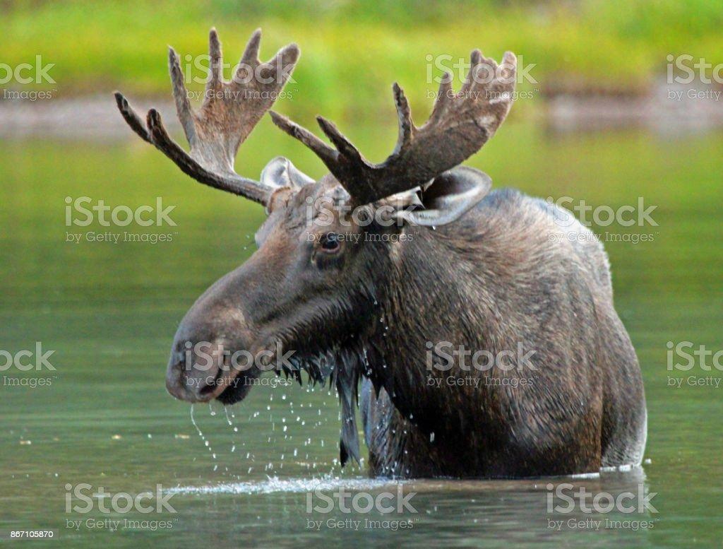 Moose Meanderings stock photo