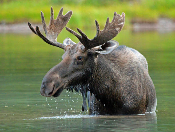 moose meanderings - low contrast stock pictures, royalty-free photos & images