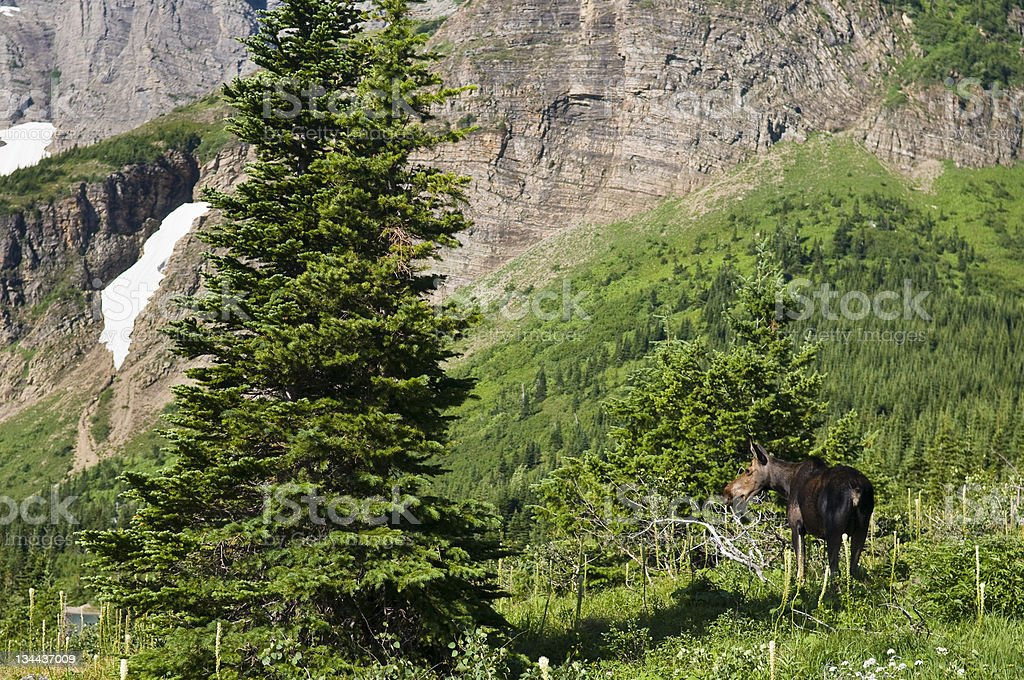 Moose on Mountain Trail in Glacier National Park