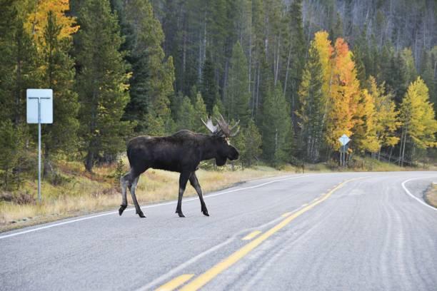 Moose on the road picture id865509464?b=1&k=6&m=865509464&s=612x612&w=0&h=snucrdprxry58ul6edk pylp0ctgosfwewckcmxzdgo=