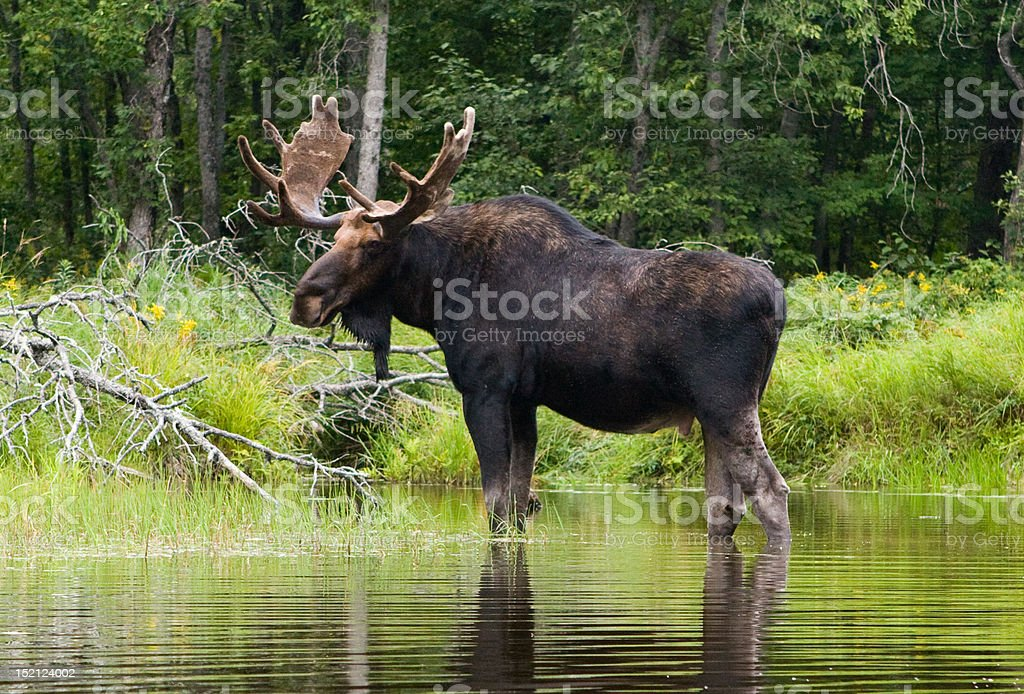 Moose on the shore of the Penobscot River, Maine stock photo