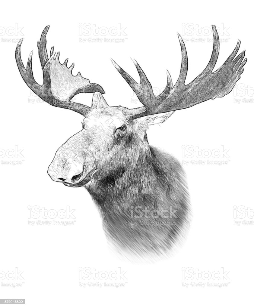 Moose on white background. Illustration in draw, sketch style. stock photo