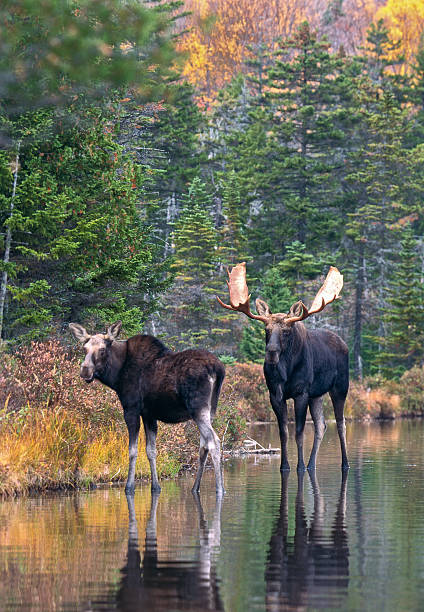 Moose Pair in Pond stock photo
