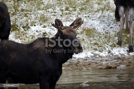 A Moose in Yellowstone National Park