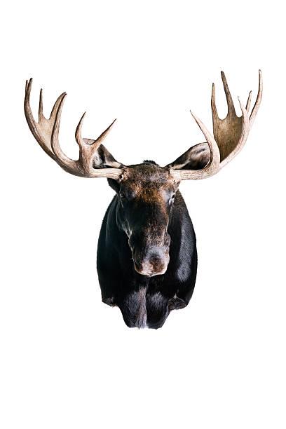 Moose – Foto