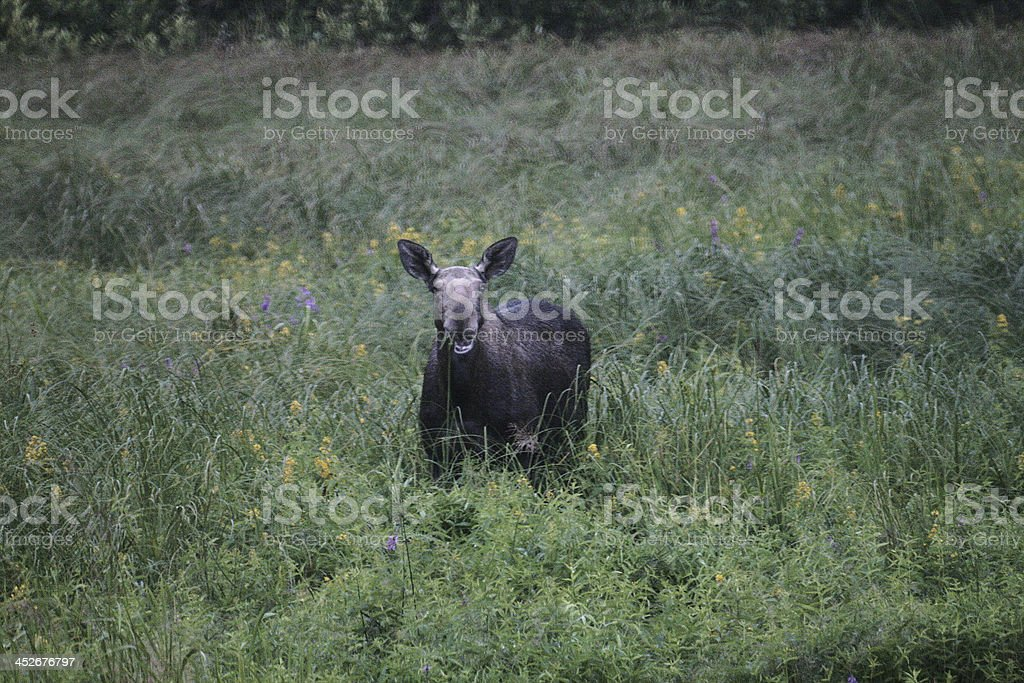 Moose royalty-free stock photo