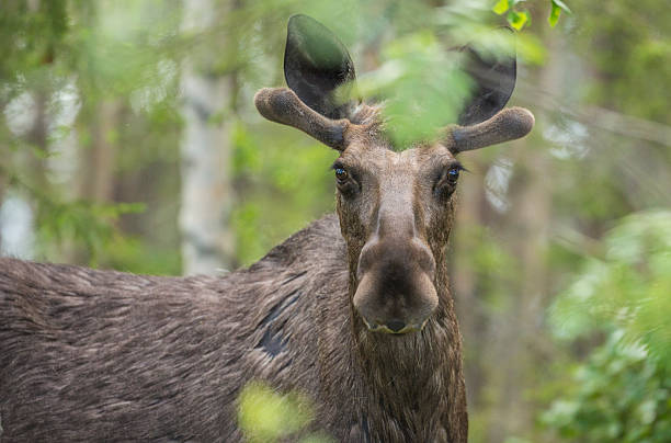 moose - älg sverige bildbanksfoton och bilder