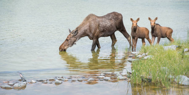 Moose Moose in Canada kananaskis country stock pictures, royalty-free photos & images