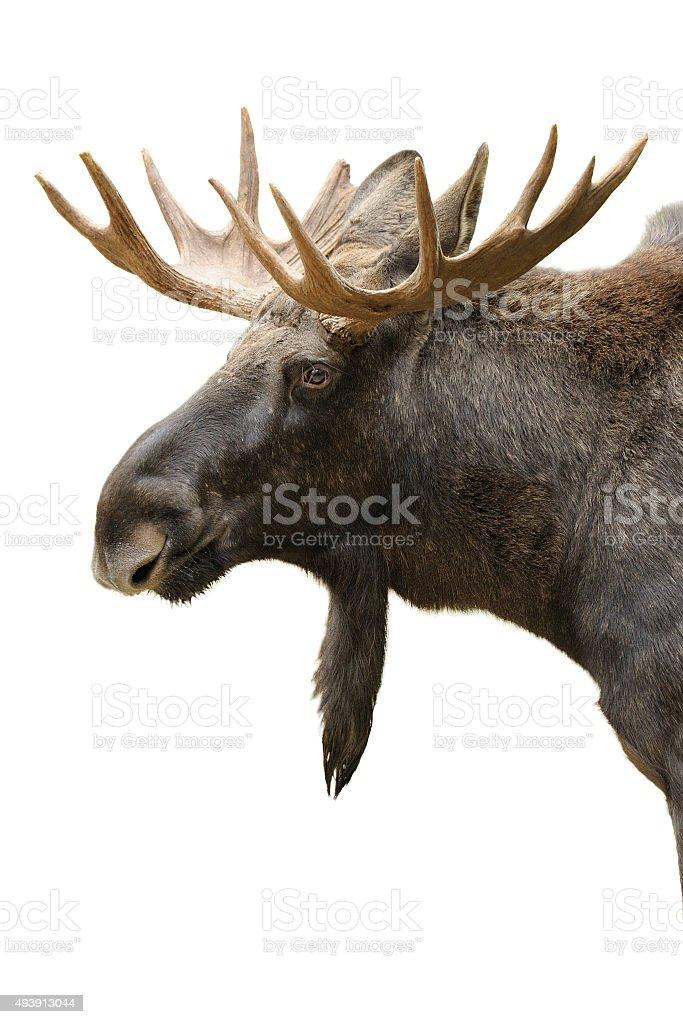 Moose portrait isolated stock photo