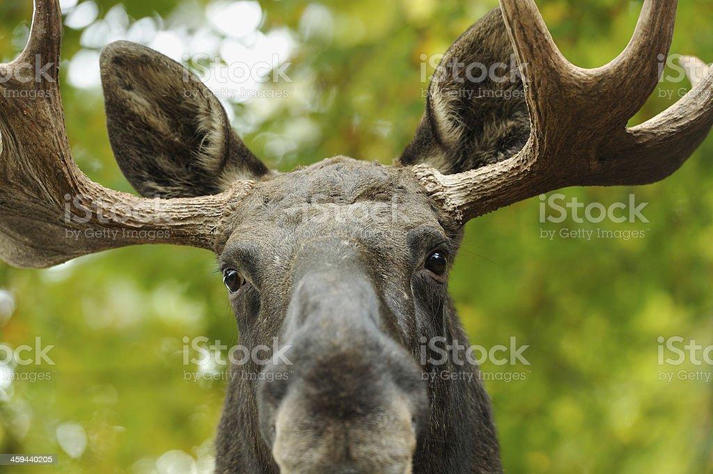 Moose portrait stock photo