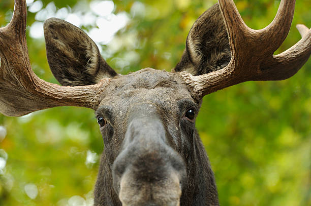 Moose portrait stock photo