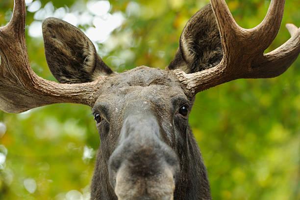 Moose Porträt – Foto