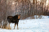 Moose in front of willow bush in Canadian winter during sunset
