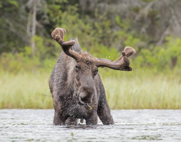 Moose shaking stock photo