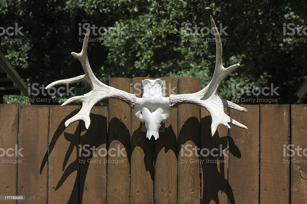 Moose Skull royalty-free stock photo