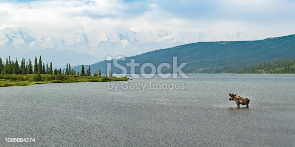 Moose standing in a lake in Denali National Park, Alaska, USA. Snow-capped mountains in background, moose is on right of frame, ample copy space.