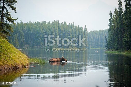 A male moose swimming in a National Park lake in between a pine forest in summer Alberta Canada